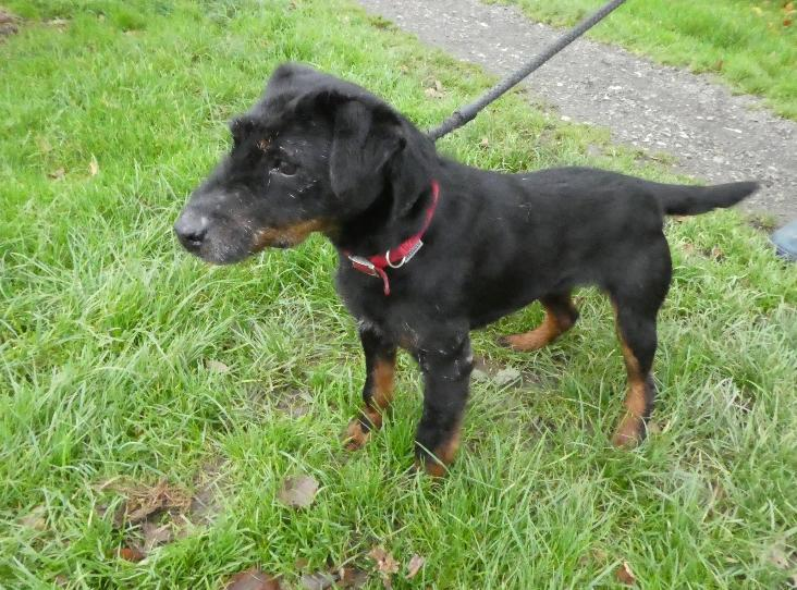 Winnie Patterdale Terrier Approx 5 Years Milnthorpe Kennels